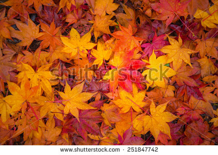 stock-photo-fall-maple-leaves-indicating-the-seasonal-change-in-japan-251847742